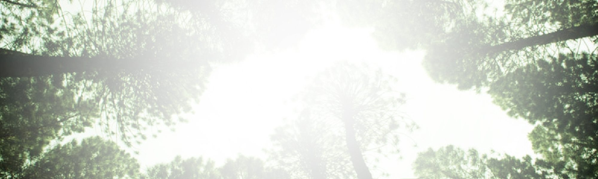 view of a tree canopy from below through the fog for estatements